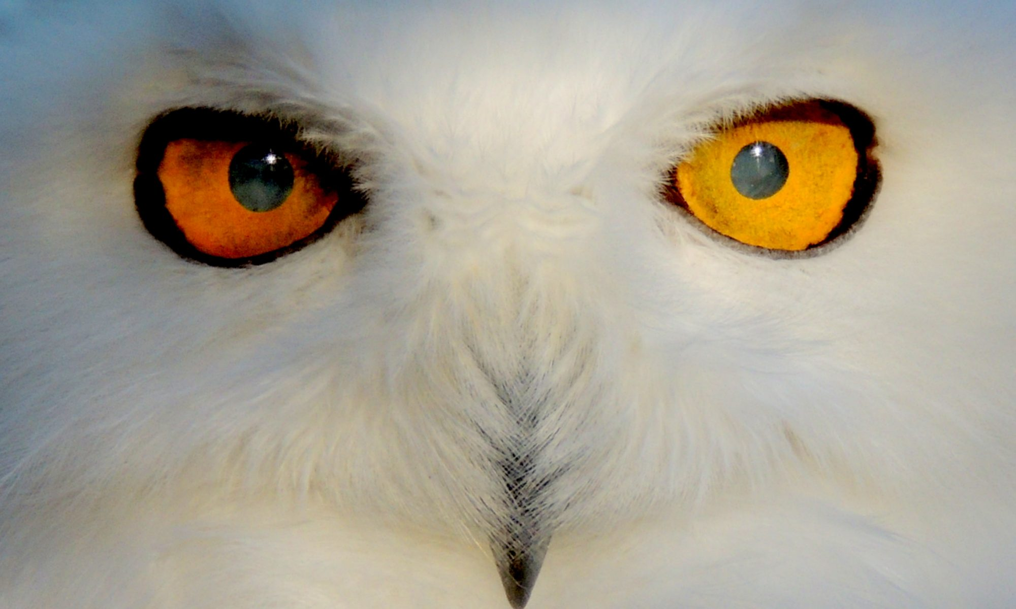 The holy grail of the bird world a snowy owl story donna l cole biocorpaavc Choice Image